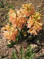 orange Flower Dutch Hyacinth Photo and characteristics
