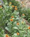 orange Flower Sea Poppy, Horned Poppy Photo and characteristics
