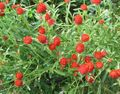 red Flower Globe Amaranth Photo and characteristics