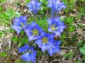 light blue Flower Gentian, Willow gentian Photo and characteristics