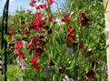 burgundy Flower Sweet Pea Photo and characteristics