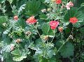 red Flower Avens, Geum Photo and characteristics