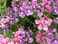 lilac Flower Diascia, Twinspur Photo and characteristics