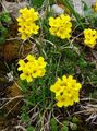yellow Flower Draba Photo and characteristics