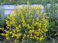 yellow Flower Spanish gorse, Spanish Broom Photo and characteristics