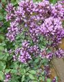 lilac Flower Oregano Photo and characteristics