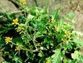 yellow Flower Great Yellowcress Photo and characteristics