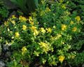 yellow Flower Hypericum olimpicum Photo and characteristics