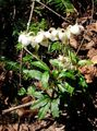white Flower Pipsissewa, Prince's Pine, Ground Holly Photo and characteristics