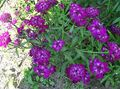 purple Flower Candytuft Photo and characteristics