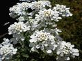 white Flower Candytuft Photo and characteristics