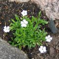 white Flower Silene Photo and characteristics