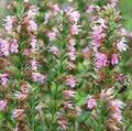 pink Flower Hyssop Photo and characteristics