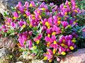pink Flower Milkwort Photo and characteristics
