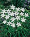 white  Spring Starflower Photo and characteristics