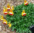 orange  Lady's Slipper, Slipper Flower, Slipperwort, Pocketbook Plant, Pouch Flower Photo and characteristics