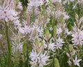 pink Flower Camassia Photo and characteristics