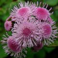 pink  Floss Flower Photo and characteristics