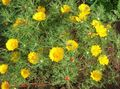 yellow Flower Cladanthus Photo and characteristics