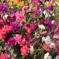 red  Clarkia, Garland Flower, Mountain Garland Photo and characteristics