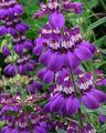 purple Flower Blue-Eyed Mary, Chinese Houses Photo and characteristics