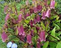 burgundy  Campanula, Bellflower Photo and characteristics