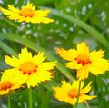 yellow Flower Goldmane Tickseed Photo and characteristics