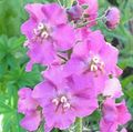 lilac Flower Ornamental Mullein, Verbascum Photo and characteristics
