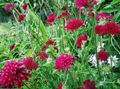burgundy Flower Knautia Photo and characteristics