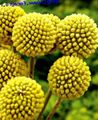 yellow Flower Billy buttons Photo and characteristics