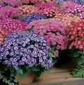 purple Flower Florist's Cineraria Photo and characteristics