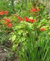 red Flower Crocosmia Photo and characteristics