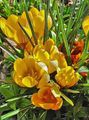 yellow Flower Early Crocus, Tommasini's Crocus, Snow Crocus, Tommies Photo and characteristics