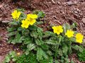 yellow Flower Cinquefoil Photo and characteristics