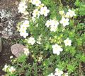 white Flower Cinquefoil Photo and characteristics
