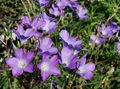 lilac Flower Linum perennial Photo and characteristics