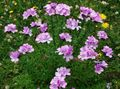pink Flower Linum perennial Photo and characteristics