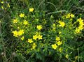 yellow Flower Linum perennial Photo and characteristics