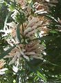 white Flower Lion's ear, Lion's Tail, Wild Dagga Photo and characteristics