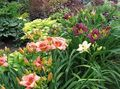 burgundy Flower Daylily Photo and characteristics