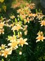 orange Flower Lily The Asiatic Hybrids Photo and characteristics
