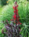 red  Cardinal flower, Mexican lobelia Photo and characteristics