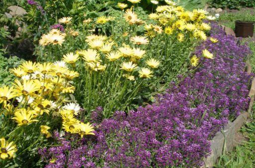 Have blomster søde alyssum, søde alison, seaside lobularia ...