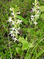 white Flower Species Orchid, Lesser Butterfly Orchid, Two-Leafed Platanthera Photo and characteristics