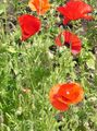 red Flower Corn Poppy Photo and characteristics