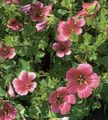 burgundy Flower Malope Photo and characteristics