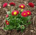 red Flower Bellis daisy, English Daisy, Lawn Daisy, Bruisewort Photo and characteristics