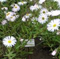 white Flower Seaside Daisy, Beach Aster, Flebane Photo and characteristics