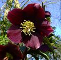 burgundy Flower Christmas Rose, Lenten Rose Photo and characteristics