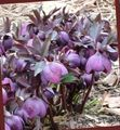purple Flower Christmas Rose, Lenten Rose Photo and characteristics